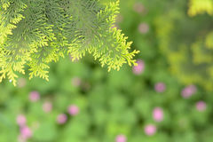 Cedar, cypress, cypress, cedar. Leafs,Flowers and green grass background,Vibrant air,Fresh and gentle scent exudes comfort royalty free stock image