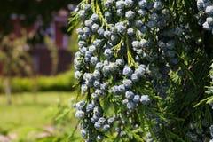 Cedar Cypress Leyland With Blue-Denneappels stock foto