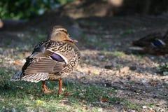 Cedar Duck rouge photographie stock libre de droits
