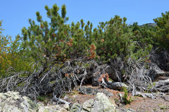 Cedar elfin wood on the slopes of the Barguzin range Stock Photos