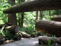 Cedar forest Royalty Free Stock Photo