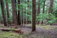 Cedar forest Stock Photography