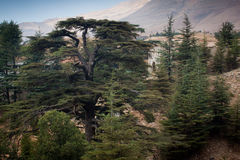 Cedar forest in Bsharri. Royalty Free Stock Photos