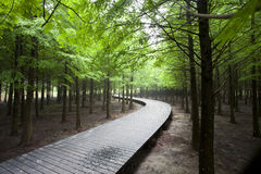 Cedar forest with curving wood road Royalty Free Stock Photography