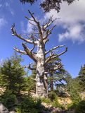 Cedar forest at foothill of Mount Tahtali, Turkey Royalty Free Stock Photography