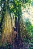 Cedar forest Stock Image