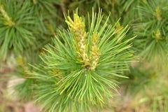 Cedar in the forest Stock Photos