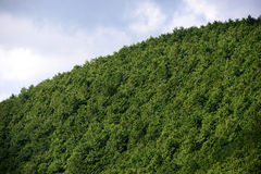 Cedar Forest in Japan Royalty Free Stock Images