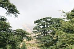 Cedar Forest, Lebanon stock photo