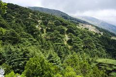 Cedar forest in Lebanon Royalty Free Stock Images