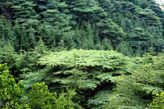 Cedar forest in Lebanon stock photo