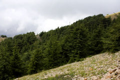 Cedar forest in Lebanon Royalty Free Stock Photography