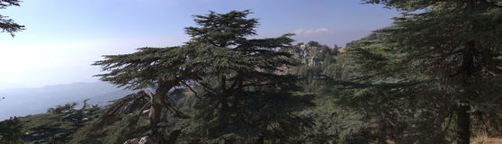 Cedar forest in Lebanon Royalty Free Stock Image