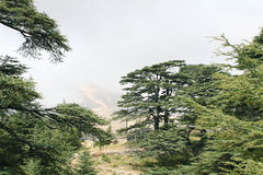 Cedar Forest Libanon Arkivfoto