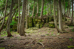 Cedar Forest In Northern Michigan Stock Photos