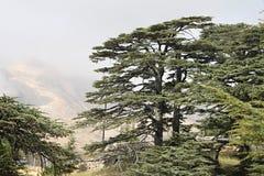 Cedar Forest van Libanon Stock Afbeeldingen