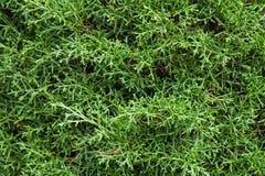 Cedar, green background Royalty Free Stock Photo