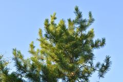 Cedar green branches are lighting by the sun against clear blue sky.  stock photography