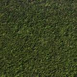 Cedar hedge Royalty Free Stock Photography