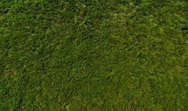 Cedar hedge Stock Image
