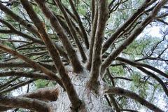 Cedar Himalayan, mening van onder de kroon Royalty-vrije Stock Foto's