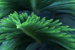 Cedar leaf. The close-up of cedar leaf. Scientific name: Araucaria cunninghamii stock photos