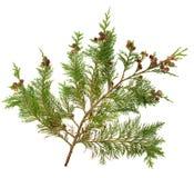 Cedar Leaves Royalty Free Stock Image