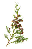 Cedar Leaves Royalty Free Stock Images