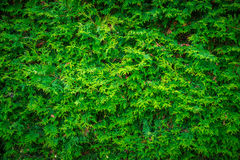 Cedar Leaves Hedge Wall Background Stock Images