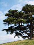 Cedar of lebanon. Part of a big cedar of Lebanon Royalty Free Stock Photo