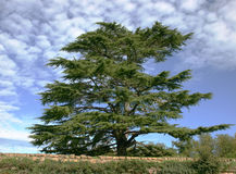 Cedar of Lebanon. Against blue sky Royalty Free Stock Photos