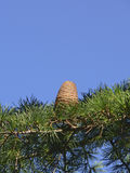 Cedar of Lebanon Royalty Free Stock Image
