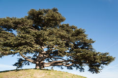Cedar of Lebanon. A typical big cedar of Lebanon on a hill Stock Photo