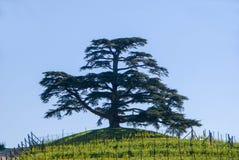 cedar Lebanon Zdjęcie Stock
