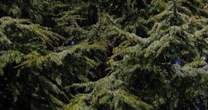 Cedar of Lebanon, cedrus sp., Normandy,. Real Time 4K stock video footage