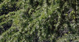 Cedar of Lebanon, cedrus sp., Normandy,. Real Time 4K stock video