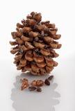 Cedar of Lebanon cone isolated on white. Cedar of Lebanon cone with nuts isolated on white stock photo