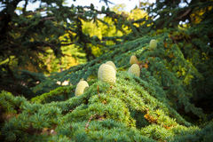 Cedar of Lebanon. Pine cones detail Royalty Free Stock Photo
