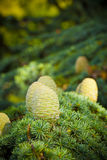 Cedar of Lebanon. Pine cones detail Royalty Free Stock Photography