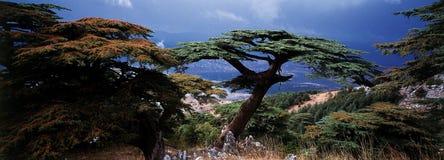 Cedar of Lebanon. In their country royalty free stock photos