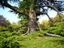 Cedar-of-Lebanon tree. (Cedrus lisbani) located in Hautefort in the Dordogne, France stock images