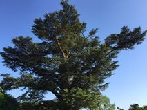 Cedar of Lebanon tree. Huge Cedar of Lebanon tree in England that's hundreds of years old stock photos