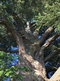 Cedar of Lebanon tree. Huge Cedar of Lebanon tree in England that's hundreds of years old stock image