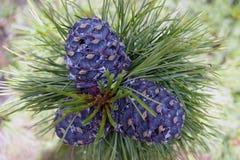 Cedar Nut On Branch Royalty Free Stock Image