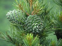 Free Cedar Nut, Pine Cone Green. Pine Nut, Pine Lump, Cedar Wood. Stock Photography - 107550832