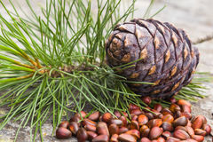 Cedar nuts and cone Stock Image