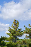 Cedar pine 3 Royalty Free Stock Photography