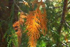 Cedar Pine bianco fotografia stock libera da diritti