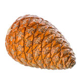 Cedar pine cone is isolated on white background, Stock Photo