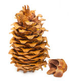 Cedar pine cone and nuts Stock Image